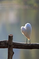 Little Egret (Egretta garzetta) preening feathers. Thailand.