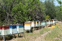 apiary in the woods, rows of beehives.