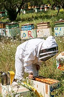 Beekeeper checking a frame of brood.