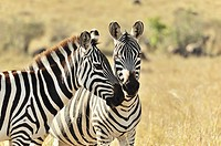 Two Zebras, Equus burchelli, showing their affection, Masai Mara, Kenya.