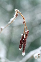 Ice and snow encrusting old male flowers on speckled alder in Canada