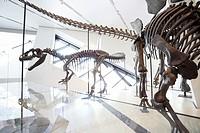 Dinosaur skeleton display inside the Royal Ontario Museum, Toronto, Ontario, Canada.