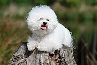 Dog Bichon Frise / adult lying on a tree stump.