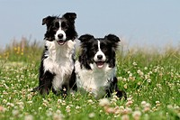 Dog Border Collie / adult and puppy (black and white) in a meadow.