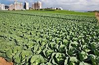 Field of cabbage in Miura Hanto Peninsula, Japan