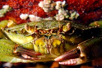 Green crab portrait in Brittany. Carcinus maenas.