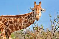 Giraffe (Giraffa camelopardalis), eating leaves, Kruger National Park, South Africa, Africa.