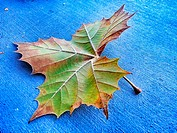 Single colorful maple leaf fallen to the pavement in autumn showing detailed structure of veins