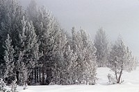 Winter chill coats lodgepole pines with frost, Upper Geyser Basin, Yellowstone National Park, Wyoming, USA.