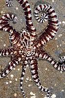 Mimic octopus (Thaumoctopus mimicus) Lembeh Strait, Indonesia.