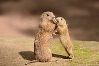 Close-up of a black-tailed prairie dog (Cynomys ludovicianus) mother with her youngster in spring.