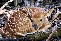 White-tailed deer fawn. Thatcher Woods Cook County Illinois.