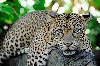 A close up shot of an African Leopard.