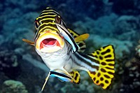 Oriental Sweetlips, Plectorhinchus vittatus, being cleaned by two Blue Streak Cleaner Wrasse, Labroides dimidiatus. Tulamben, Bali, Indonesia. Bali Se...