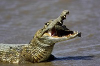 Spectacled Caiman, caiman crocodilus, with a Fish in its Mouth, Los Lianos in Venezuela.