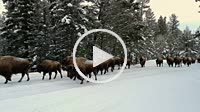 Herd of Bison in Yellowstone National Park walking on the road.