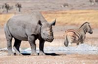 Black Rhinoceros (Diceros bicornis), adult male and Burchell's zebra (Equus burchelli) standing at waterhole, Etosha National Park, Namibia, Africa.