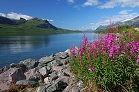 Stora sjöfallets national park, mountains with snow on in the background and fireweed in foreground, Gällivare, Swedish lapland.