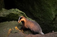 Badger (Meles meles), in front of Jurassic rocks, Bavaria, Germany.