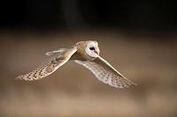 Barn owl (Tyto alba), flying, Czech Republic.