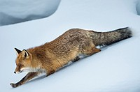 Fox (Vulpes vulpes) in snow, winter fur, National Park Gran Paradiso, Italy.