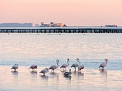 Small group of flamingoes, mussel breeding platforms and sea salt heaps of Trinidad Salt Works at Alfacs bay. Ebro River Delta Natural Park, Tarragona...