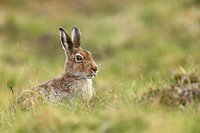Mountain Hare (Lepus timidus) adult in spring coat feeding on sedges.