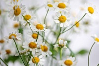 tanacetum parthenium - feverfew, single vegmo variety, Summer daisy-like flowers, medicinal herb.