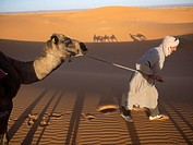 Moroccan men work with camels in Morocco.