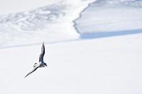 Northern Fulmar (Fulmaris glacialis) flying over frozen fjord, Svalbard.