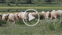 Sheep near Ladon river. Arcadia, Peloponnese, Greece