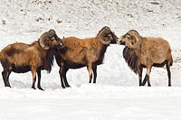Two American blackbelly sheep appear to be stopped by the leader.