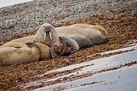Walrus, Odobenus rosmarus, Arctic, Spitsbergen, Svalbard, Norway, Europe.