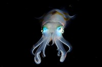 Bigfin Reef Squid (Sepioteuthis lessoniana), Night dive, Pantai Parigi dive site, Lembeh Straits, Sulawesi, Indonesia.