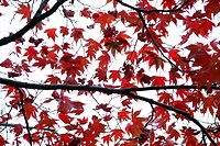 Japanese Maple tree, Acer japonicum, with red leaves, Frelinghuysen Arboretum, Morristown, New Jersey, NJ, USA.