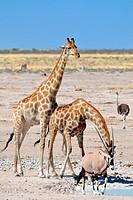 Two Giraffes (Giraffa camelopardalis), drinking at waterhole, and a male gemsbok (Oryx gazella), walking, Etosha National Park, Namibia, Africa.