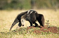 Giant anteater (Myrmecophaga tridactyla), female with cub on its back, looking for ants in farmland, Mato Grosso do Sul, Brazil.