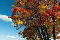 Autumn colours, maple tree (Aceraceae), Bavaria, Germany.