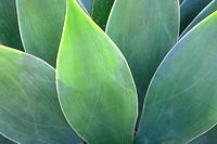 Close-up view of agave leaves, Santa Barbara Botanic Garden, Santa Barbara, California, CA, USA.