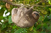 Three-toed sloth (Bradypus variegatus) in the northern mountain rainforests, Venezuela.