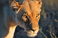 Lioness (Panthera leo), adult female, in evening light, Kgalagadi Transfrontier Park, Northern Cape, South Africa, Africa.