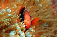 Cinnamon clownfish or Fire clownfish (Amphiprion melanopus), Redang Island, Malaysia, Southeast Asia.