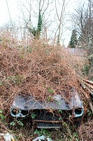 Old abandoned cars covered with foliage in wales great britain uk