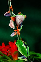 Agalychnis callidryas. Red eyed tree frogs on a little branch. Costa Rica.