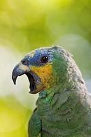 Amazona amazonica. Portrait of an orange-winged amazon. Salvation islands. French Guiana.