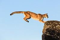 Adult mountain lion (Puma concolor) jumping, captive, California, USA
