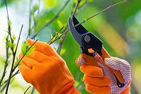 Woman´s Hands in Gardening Gloves with Shears Pruning Plants in the Garden.