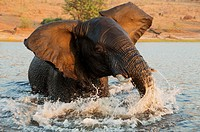 African Elephant (Loxodonta africana) - Bull in the Chobe River gets angry at the very near boat with the photographer. Photographed from a boat. In t...
