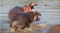 Hippos having a territorial dispute. Masai Mara National Reserve, Kenya