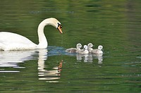 Animals, Swan, newborn Cygnus cygnus Adda River Trezzo d´Adda locality Italy